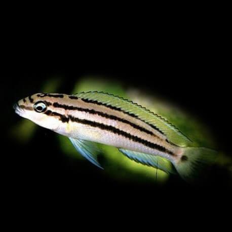 Chalinochromis popelini 4-5cm