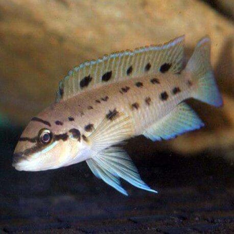 Chalinochromis species ndobhoi 4-5,5cm