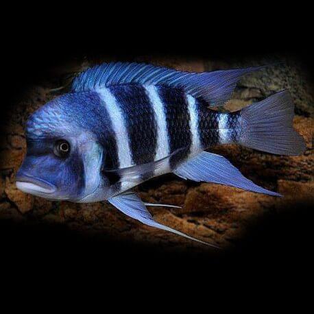 Cyphotilapia frontosa mpimbwe blu 3 - 4 cm