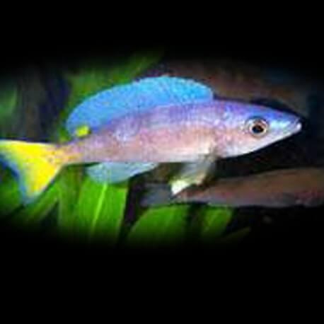 Cyprichromis lept. jumbo malasa 4 - 5 cm