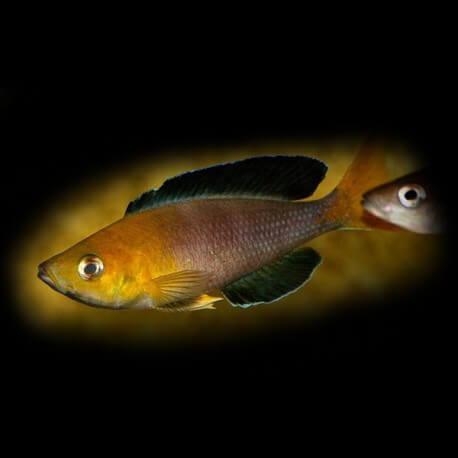 cyprichromis leptosoma jumbo yellow 4-5cm