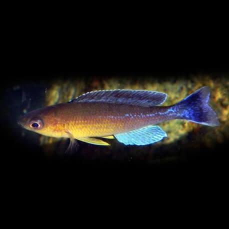 cyprichromis leptosoma kigoma 4-5cm