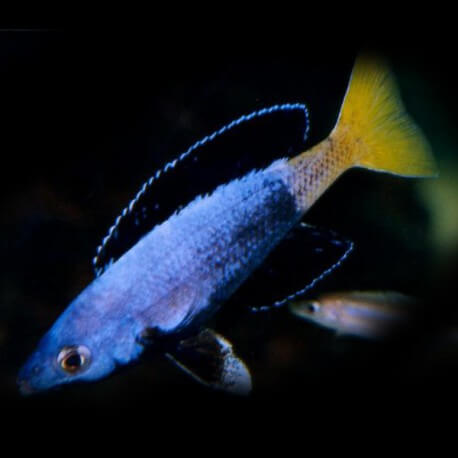Cyprichromis lept. kitumba jumbo 4,5 - 5 cm