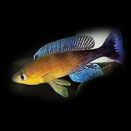 cyprichromis leptosoma mvuna 4-5cm