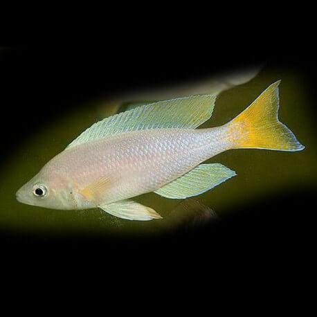 cyprichromis leptosoma mbity 5-6cm