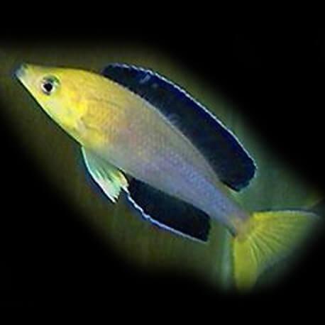 cyprichromis leptosoma mpimbwe 4-5cm