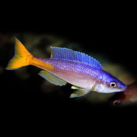 Cyprichromis leptosoma utinta 4,5 - 6 cm