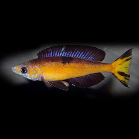 Cyprichromis microlepidotus Kasai 5-6 cm