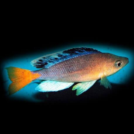 Cyprichromis sp. Mbita Grandiosus 4-5cm