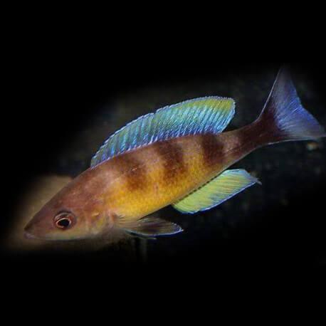 Cyprichromis zonatus 4-5cm