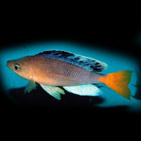 Cyprichromis leptosoma jumbo katete 5-6cm