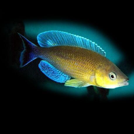 Cyprichromis lept. jumbo turquise flame 5-6 cm