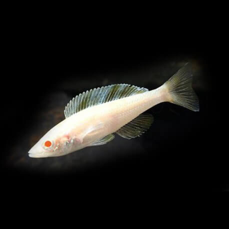 Cyprichromis leptosoma Kitumba albino 5-6 cm
