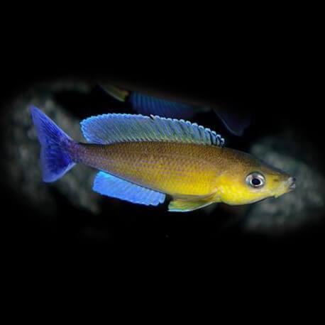 Cyprichromis leptosoma Livua blue orchid 6-8cm