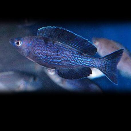 Cyprichromis microlepidotus Kiriza 5-6cm