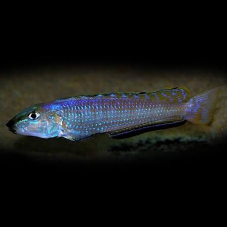 Enantiopus melanogenys Makola F1 8-10cm