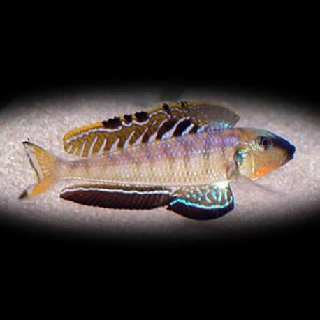 Enantiopus melanogenys utinta 4 - 5 cm