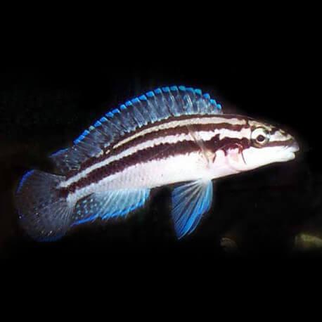 Julidochromis dickfeldi 4 - 5 cm