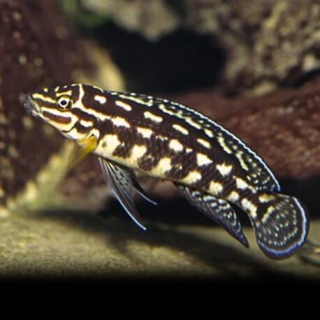 Julidochromis marlieri 6 - 7 cm