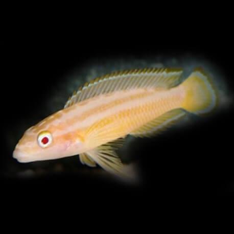 Julidochromis ornatus albinos +6cm