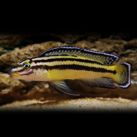 Julidochromis regani kipili 4 - 5 cm