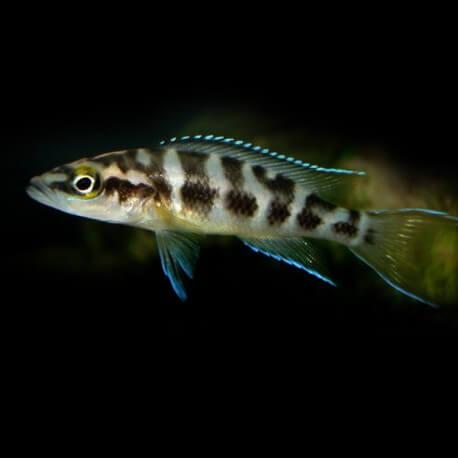 "Lamprologus buescheri « katoto"" 5-6cm"