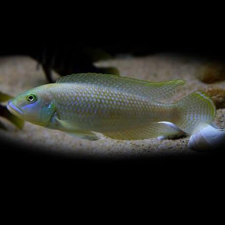 Lamprologus callipterus 5,5-6cm