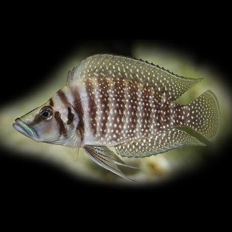 Lamprologus calvus 3,5 - 4,5