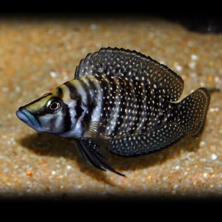 Lamprologus calvus black pectoral 3.5 - 4.5 cm