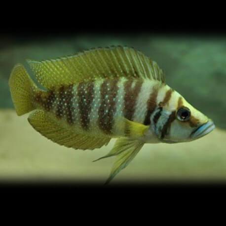 Lamprologus calvus gold 3,5-4,5cm