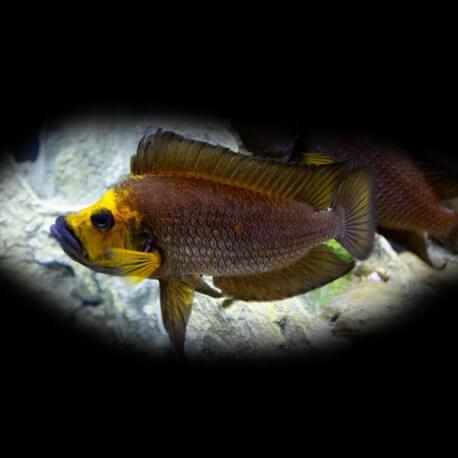 Lamprologus comp. goldhead 3 - 4 cm