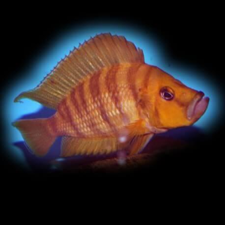 Lamprologus comp. tanzania red fin 3 - 4 cm