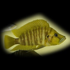 Lamprologus comp.yellow chaitika 3-4 cm