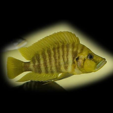 Lamprologus comp.yellow chaitika 3-4 cm