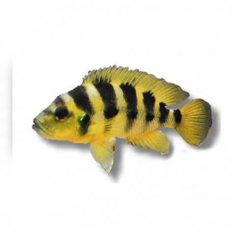 Lamprologus elongatus 4,5-6cm