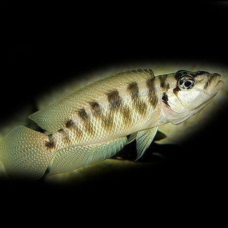 Lamprologus fasciatus  5,5 cm