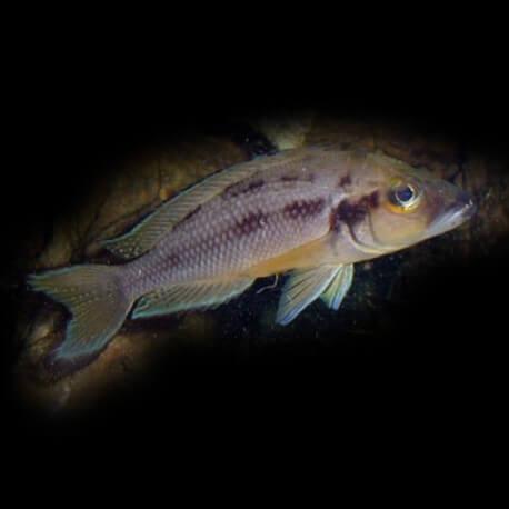 Lamprologus furcifer 4-5cm