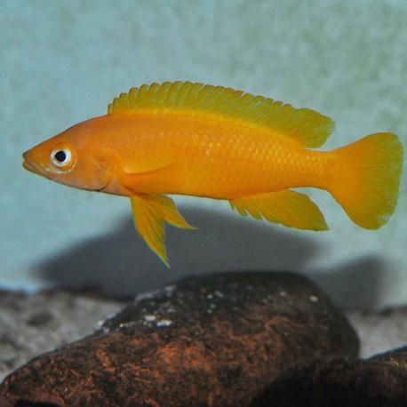Lamprologus leleupi leleupi oran 5 - 7 cm