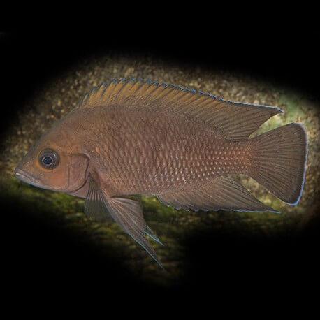 Lamprologus moorii 4 - 5 cm