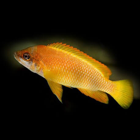 Lamprologus mustax gold 4-5,5cm