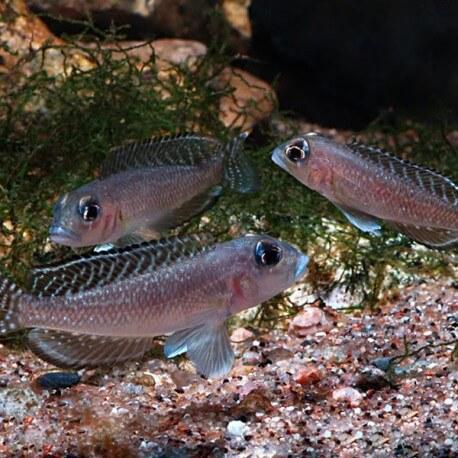 Lamprologus ornatipinis 3,5-4cm