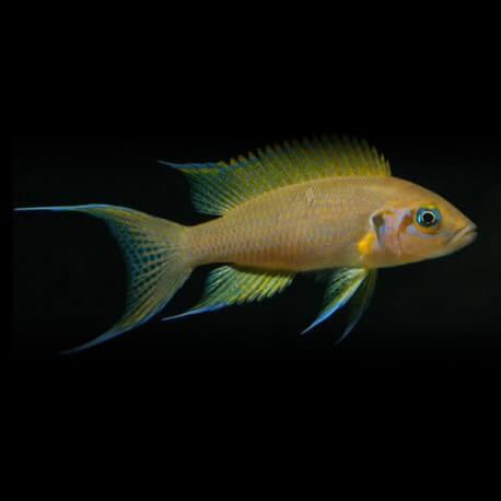 Lamprologus pulcher +5,5cm