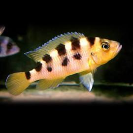 Lamprologus sexfasciatus > 5 cm