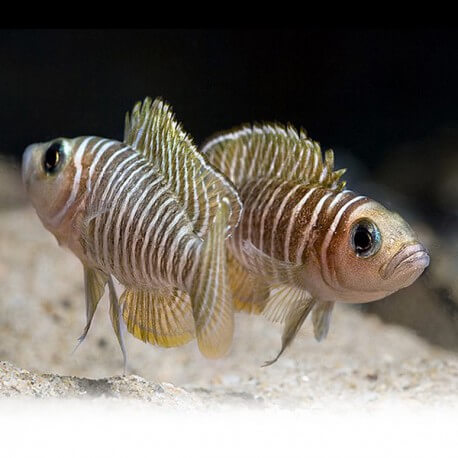 Lamprologus similis 3,5 - 4 cm