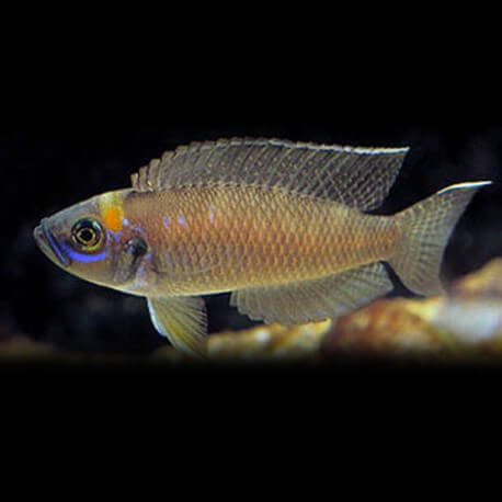 Lamprologus sp. magarae 4,5-5cm