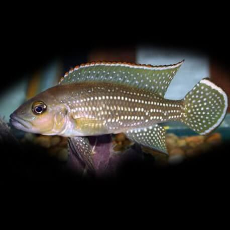 Lamprologus tetracanthus 4,5-5,5cm