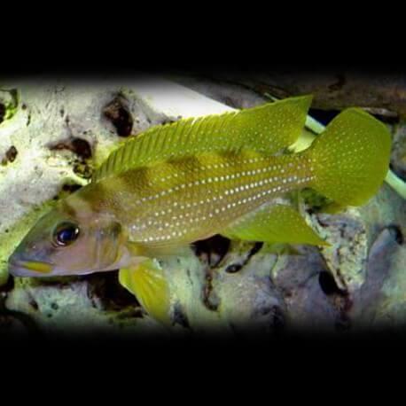 Lamprologus tetracanthus gold 4-5cm