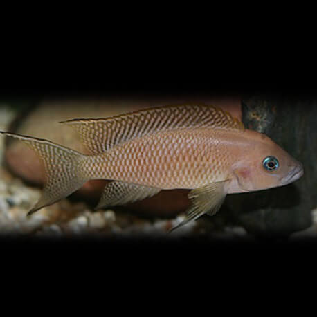 Lamprologus walteri 5-6cm