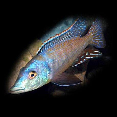 Lichmochromis acuticeps 5-6cm