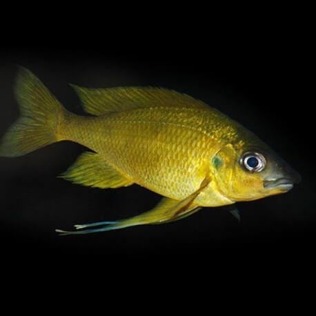 Ophthalmotilapia nasuta Kipili Gold 5,5-7cm